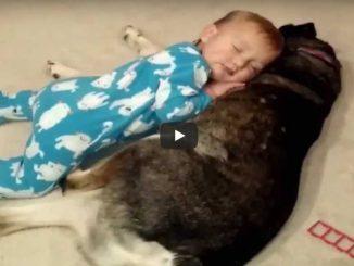 Fenka se stará o usínající díte